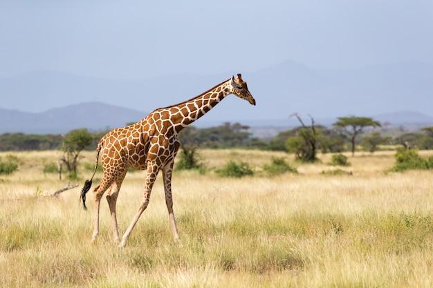 Один жираф гуляет по саванне между растениями