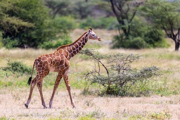 Один жираф прогуливается по саванне между растениями