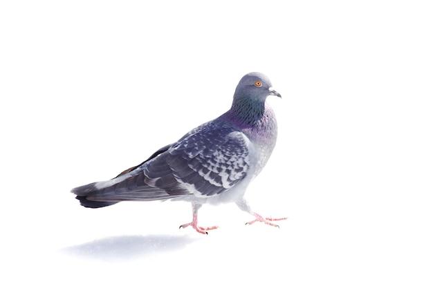 白い背景で隔離の1つの灰色の鳩