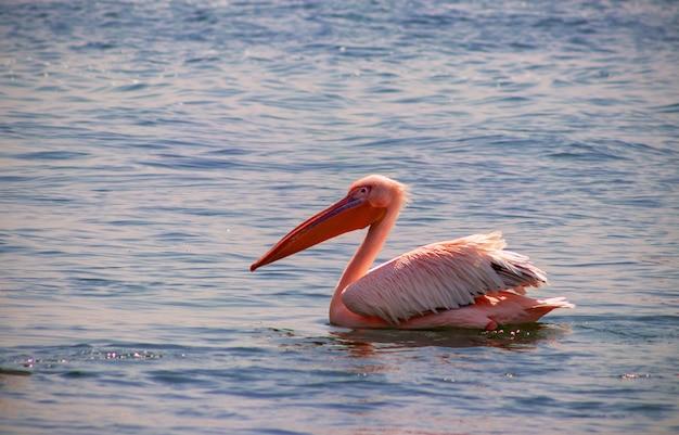 Один большой белый африканский пеликан - птица из семейства пеликанов. птица плавает в лагуне в солнечный день