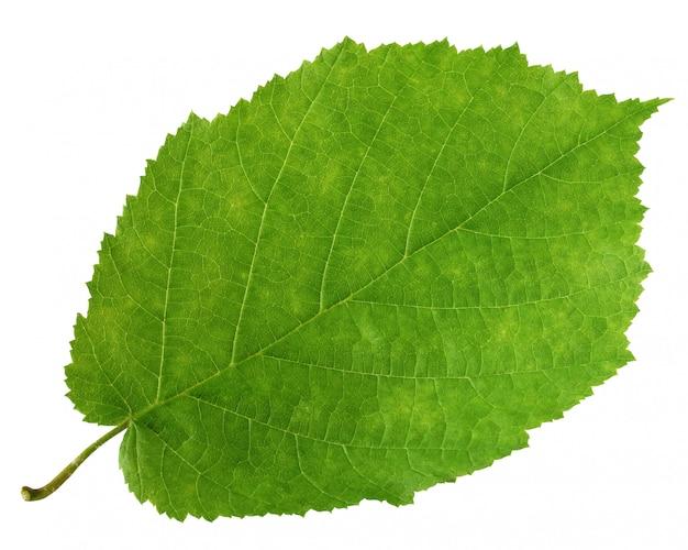 One green leaf of hazel tree isolated on white background. herbarium.