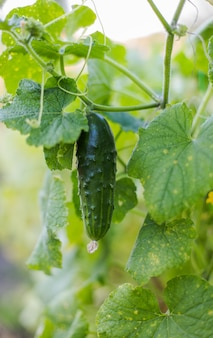 One green ripe cucumber on a bush among the leaves Premium Photo