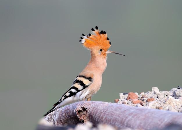 ヤツガシラの1つが建設の残骸の山に座っており、そこで鳥は巣を作ることにしました。