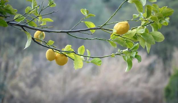 초점이 맞지 않는 과일 정원 배경 위에 과일과 잎이 있는 레몬 나무의 수평 가지
