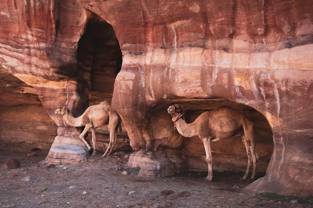 One humped camels in caves in the desert mountains of petra, jordan
