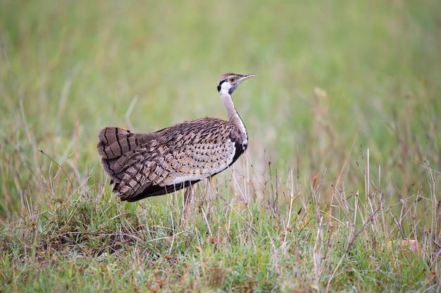 1つの土着の灰色の鳥が草の中に立って見て