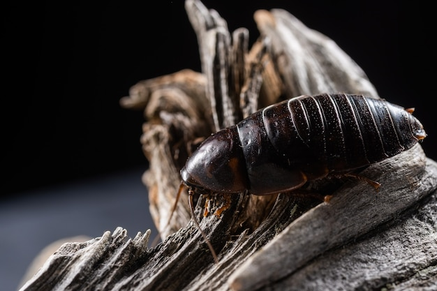 One kind of cockroaches is blattodea. it is kind of insects that contains cockroaches and termites. both of them having evolved from a common ancestor.