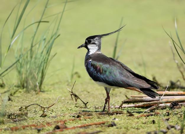 Один чибис стоит на зеленой водяной траве в естественной среде обитания