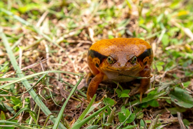 One large orange frog is sitting in the grass