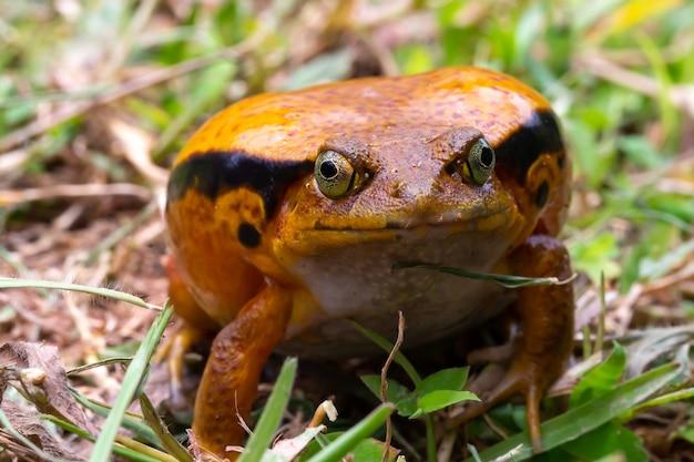 1匹の大きなオレンジ色のカエルが草の中に座っています