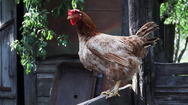화창한 날 시골에 있는 큰 적갈색 암탉 한 마리가 화려한 여름 배경을 배경으로 합니다. loman brown은 계란 유형의 닭에 속합니다. 가금류 사육, 닭고기 및 계란 생산.