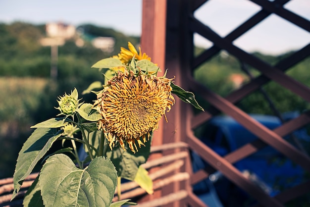 One large sunflower on the background of nature.