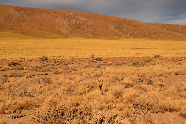 One little andean fox relaxing in the desert brush field, atacama desert of northern chile