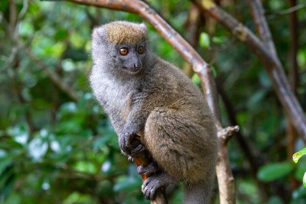 熱帯雨林の木の枝に小さなキツネザル