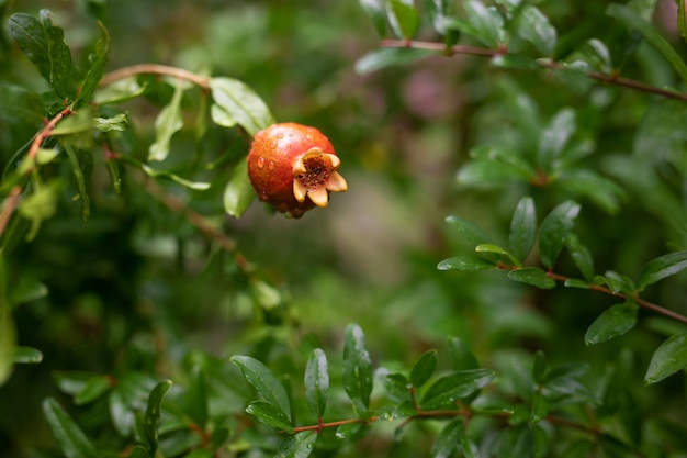 One little red garnet hanging on a branch with green foliage. ripe pomegranate grows on a tree