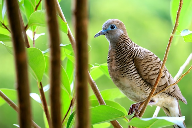 One little wild zebra dove perching on tree branch with blurry vibrant green foliage