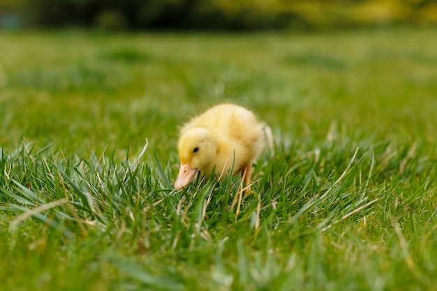 One little yellow duckling on green grass,