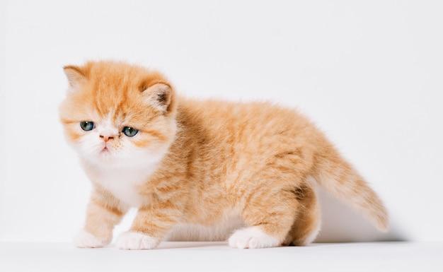 1ヶ月のオレンジと白のエキゾチックな猫