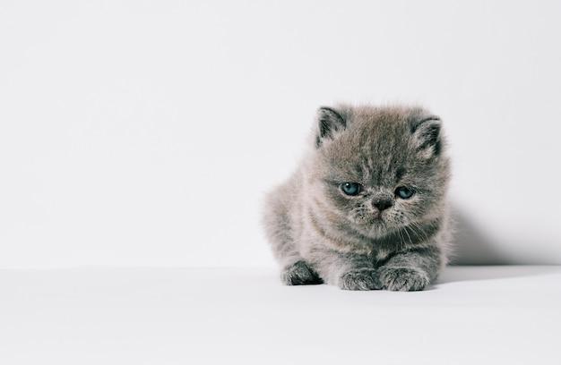 1か月古い小さな灰色のエキゾチックな猫