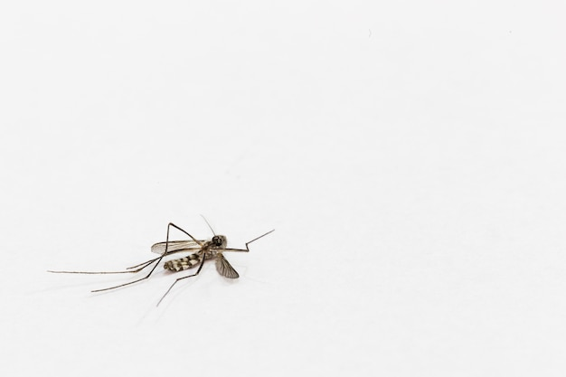 One mosquitoe death on white background with copy space