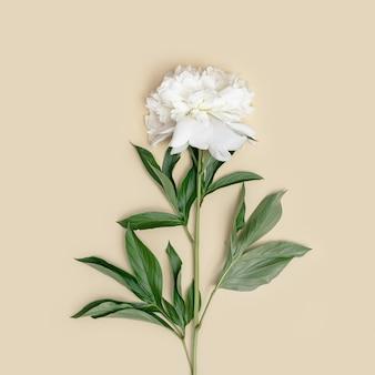 파스텔 베이지색 배경에 녹색 잎이 있는 자연스럽고 신선한 흰색 모란 꽃
