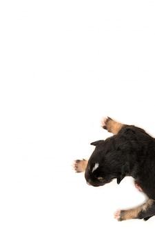 흰색 배경 평면도에 한 신생아 강아지