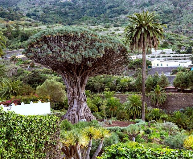 테네리페의 유명한 명소 중 하나와 자연 상징 - 카나리아 제도 icod de los vinostenerife의 parque del drago에 있는 고대 용 나무(el drago)