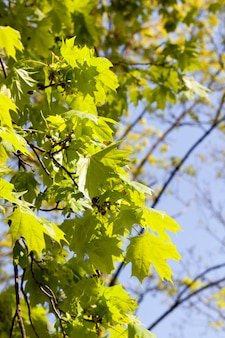 녹색 단풍이 햇빛에 비추는 단풍 나무의 첫 번째 잎 중 하나입니다. 겨울 이후 자연의 각성