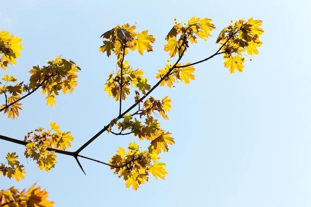 日光に照らされた緑の葉を持つカエデの最初の葉の1つ。冬の後の自然の目覚め