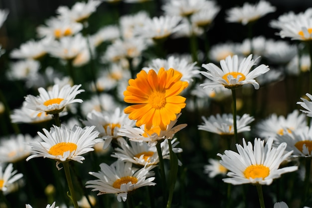 One orange daisy among a field of white daisies, close-up. beautiful flowers outdoors