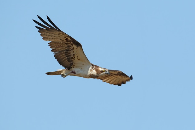 One osprey flies with wide open wings against the blue sky