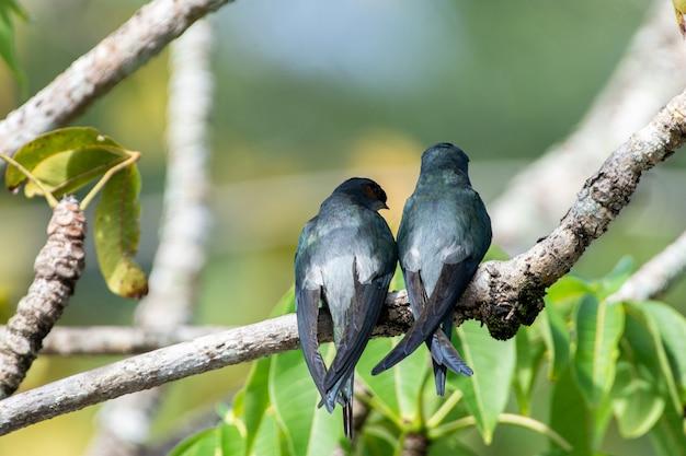 한 쌍의 암컷과 수컷 grayrumped treeswift 앉고 쉬고 있습니다
