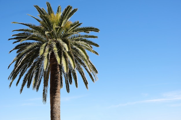 One palm tree isolated against blue sky