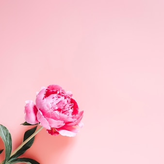 One peony flower in full bloom vibrant pink color isolated on pale pink background. flat lay, top view, space for text. square