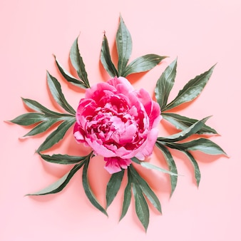 One peony flower in full bloom vibrant pink color and leaves isolated on pale pink surface