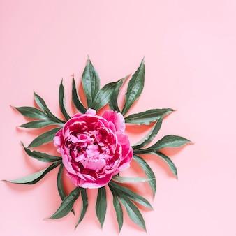 満開の鮮やかなピンク色の1つの牡丹の花と淡いピンクの表面に分離された葉
