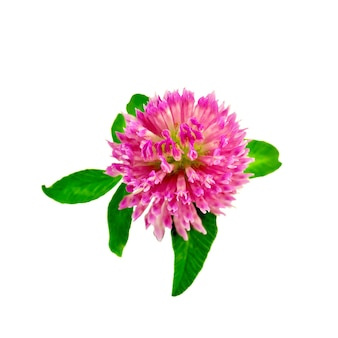 白い背景で隔離の緑の葉を持つ1つのピンクのクローバーの花