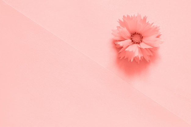 One pink flower on paper background toned trendy coral color of the year 2019,