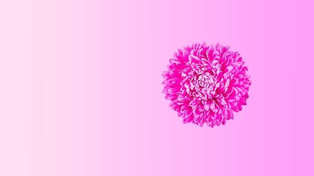 노란색 배경에 하나의 분홍색 신선한 애스터 꽃입니다. 미니멀리즘. 봄 꽃 구성입니다. 로맨틱, 발렌타인, 여성, 어머니의 날 또는 결혼식 개념. 평평한 평지, 평면도, 복사 공간