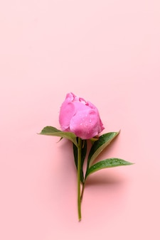 One pink peony flowers on pink background.