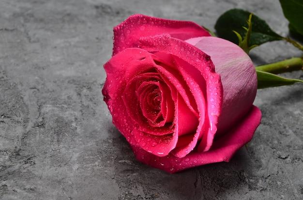 한 핑크 콘크리트 표면에 물 근접 방울에서 상승했다. 네덜란드 장미. 첫 데이트에서 낭만적 인 선물.