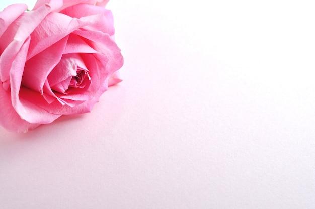 Одна розовая роза на белой поверхности. место для текста.