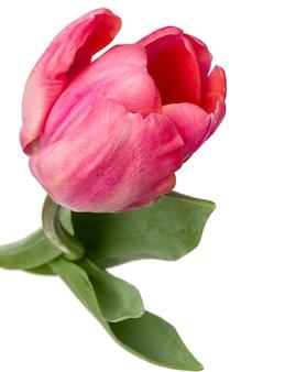 흰색 배경에 고립 된 한 핑크 튤립 꽃