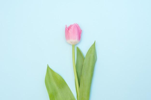 Один розовый тюльпан на синем