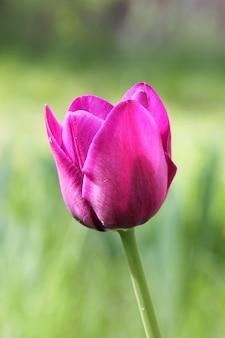 야외 공원에서 한 핑크 튤립