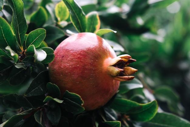 Один плод граната на ветке в саду летом.