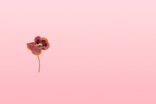 분홍색 그라데이션 배경에 말린 보라색 꽃 한 송이를 눌렀습니다. 평평한 평지, 엽서, 초대 카드를 위한 모의 구성. 텍스트를 위한 공간을 복사합니다. 식물 표본 상자, 꽃 배경입니다.