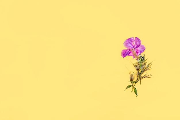노란색 배경에 말린 보라색 꽃 한 송이를 눌렀습니다. 평평한 평지, 엽서, 초대 카드를 위한 모의 구성. 텍스트를 위한 공간을 복사합니다. 식물 표본 상자, 꽃 배경