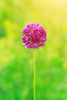 One purple wildflower at green background, shallow dof