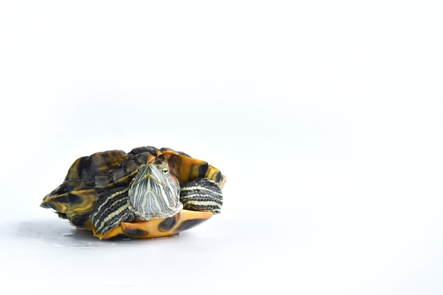 One red-eared turtle on a white surface